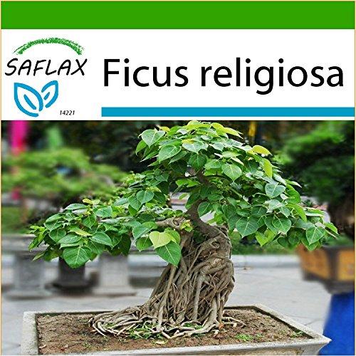 SAFLAX - Bonsai - Buddha-Feige / Bodhi-Baum - 100 Samen - Mit Substrat - Ficus religiosa