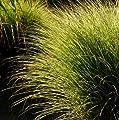 lichtnelke - Feinhalm- Chinaschilf (Miscanthus sinensis ' Gracillimus ') Tb9 von Lichtnelke Pflanzenversand - Du und dein Garten