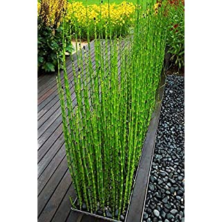 50 graines de bambou mini-graines de bambou Moso noir emballer les graines d'arbres pour le jardin de la maison