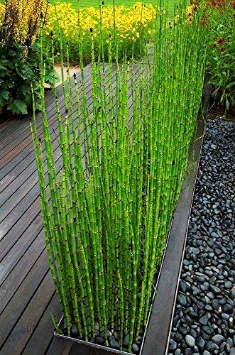50 Bambus Samen mini schwarz Moso Bambus Samen verpacken Baumsamen für Hausgarten (Schwarzer Bambus)