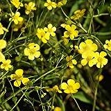 Blumixx Stauden Ranunculus flammula - Brennender Hahnenfuß, im 0,5 Liter Topf, gelb blühend