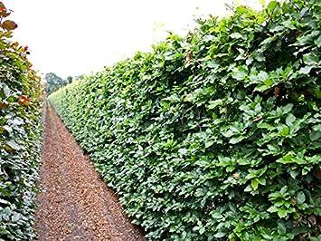 Garten Ehren 25 stk rotbuche rotbuchenhecke topfware 30 50 cm hoch fagus