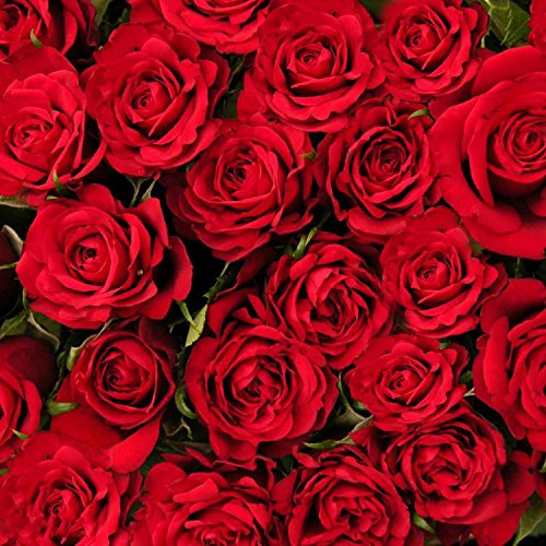 Ncient 50 pcs/ Sac Graines Semences de Rose Couleur Rouge de Graines Fleurs Graines à Planter Plante Rare de Jardin Balcon Vivaces Belle Floraison Bonsaï en Plein Air pour l'Intérieur et l'Extérieur