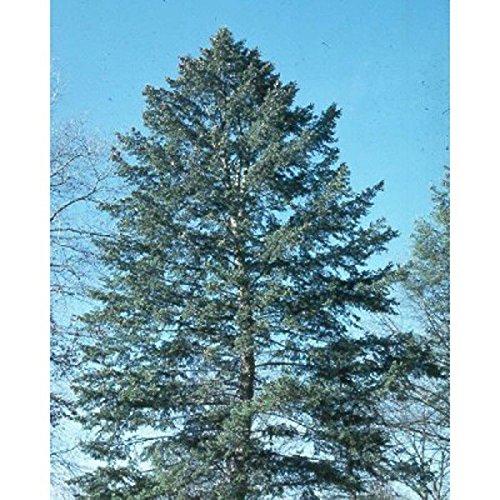 PLAT FIRM GERMINATIONSAMEN: 100 Samen: Blaue Douglasie, Pseudotsuga Taxifolia Glauca