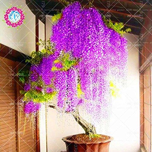 10pcs graines de glycines rares japonais fleur rouge Wisteria Bonsai Graines Mini Bonsaï plantes ornementales d'intérieur pour la décoration de la maison 3