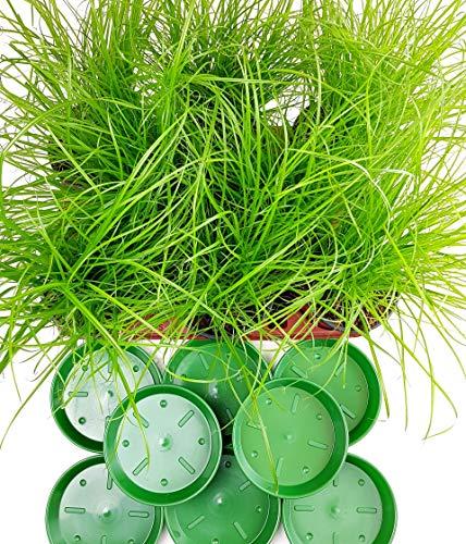 4 Stück Katzengras Cyperus alternifolius Zumula - zur Verdauungsunterstützung von Katzen - Futter Pflanze A1 Qualität MPS kontrolliert