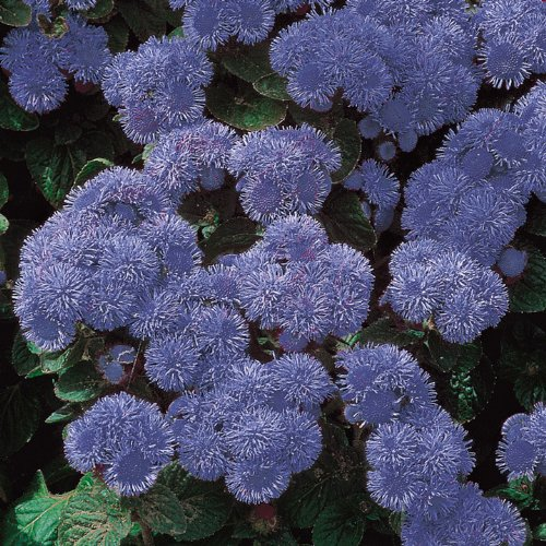 Suttons Ageratum Seeds Blue Mink Mix lowest price