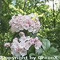 Großer Berglorbeer 25-30cm - Kalmia latifolia von Baumschulen bei Du und dein Garten
