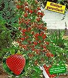 BALDUR-Garten Kletter-Erdbeere 'Hummi', 3 Pflanzen Fragaria Erdbeerbäumchen schnellwachsende Klettererdbeeren, selbstfruchtend