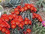 Kakteengarten 6 verschiedene winterharte Echinocereus und Escobaria im Set -9cm Topf