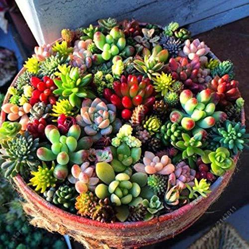 Kisshes giardino - 20/100 pezzi genuino mini succosa succosa miscela mista succulenta miscela resistente perenne seme per giardino balcone/patio