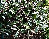 Breitwüchsiger Kirschlorbeer Prunus laurocerasus Otto Luyken Containerware 30-40 cm