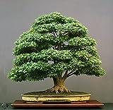 #9: National Gardens Japanese Green Maple Bonsai Seeds