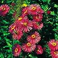 """Raublatt-Aster """"Alma Pötschke"""" - Aster novae-angliae """"Alma Pötschke"""" - robuste Staude mit Blüten in intensivem Rot - Bienenstaude im 11 cm Topf - frisch aus der Gärtnerei - Pflanzen-Kölle Gartenstaude von Kölle auf Du und dein Garten"""