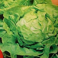 Kopfsalat Hilde II