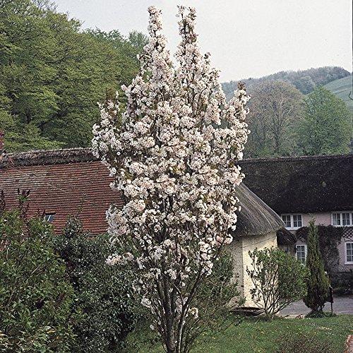 flowering-cherry-amanogawa-bare-root-tree-1m