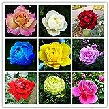 Shoopy Star 200 pezzi di semi di rose cinesi quattro stagioni che seminano i semi di fiori perenni