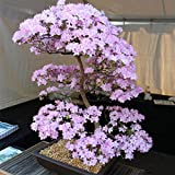 TOPmountain Kirschblüten-Samen 10 Stück Sakura-Baum-Samen Mischfarbe Bonsai-Baum Home Party Dekor