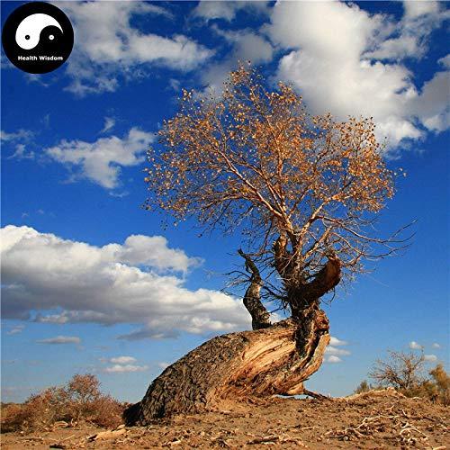 eb38dd99231f0 PLAT FIRM Germination Les graines: Acheter: 50pcs Populus Euphratica Arbre  Graines Plante Arbre désert Populus Euphratica Pour Hu Ya