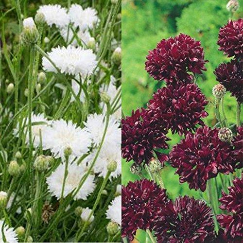 Centaurea cyanus -Kornblumenmix black & white - schwarz & weiß - 250 Samen