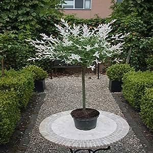 Standard Salix Hakuro Nishiki 1 Tree Amazon Co Uk