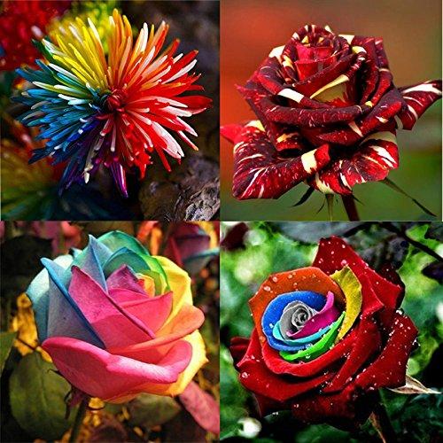 bazaar-semillas-de-flores-de-la-combinacion-de-arco-iris-rosa-crisantemo-lluvia-de-meteoros-rosa-jar