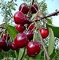 Kordia, großfrüchtige Süßkirsche Kirsche Buschbaum, ca. 120-150 cm im 9,5 L Topf von Grüner Garten Shop auf Du und dein Garten