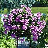 Geranium (Trailing) 6 Jumbo Plants – Lilac (6-)