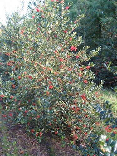 Ilex aquifolium J. C. van Tol – Stechpalme J. C. van Tol – Preis nach Größe 100-120 cm