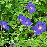 Storchenschnabel, Geranium pratense, Set aus 3 Stauden blau blühend, 7cm Topf
