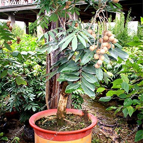 Frais longane Graine Yeux de fruits exotiques non OGM, bio jardin Bonsai plantes ornementales Tropical 6 Pcs