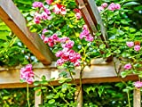 #10: Rare Red Climbing Rose Plant Red Color Perinnial Rose 1 Live Plant