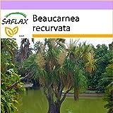 SAFLAX - Piede d'elefante - 10 semi - Beaucarnea recurvata