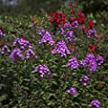 Dominik Blumen und Pflanzen, Staude Hohe Flammenblume, Farbmischung, 10 Stauden in verschiedenen Farben blühend von Landgard Blumen & Pflanzen - Du und dein Garten