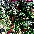 Bunter Mangold 'Bright Lights' von Kiepenkerl bei Du und dein Garten