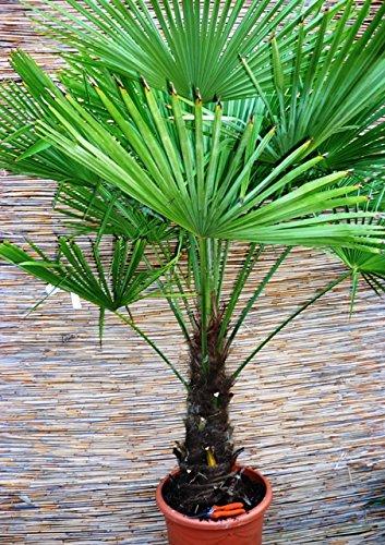 faecherpalme winterhart Trachycarpus fortunei, Palme, Hanfpalme Winterhart, Gesamthöhe:170-190cm Stamm. 50-60cm - Topf Deco Ø 40 cm - 25 Ltr - PALLETTENVERSAND INNERHALB DEUTSCHLAND