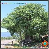 Portal Cool Semillas ?? Adansonia Kilima ? ? africana Baobab Tree House Plant Bonsai Caudex ?11