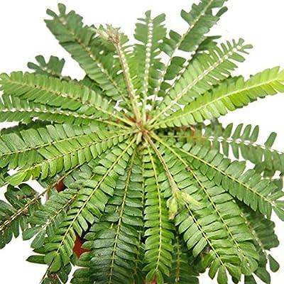 Biophytum sensitivum - Südseepalme - 9cm Tontopf - Die Pflanze die sich bewegt - Ideal für Kinder - Mini-Palme von exotenherz.de - Du und dein Garten