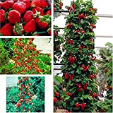 Riesen Kletter-Erdbeere - Strawberry Giant Red Climbing - 30 Samen