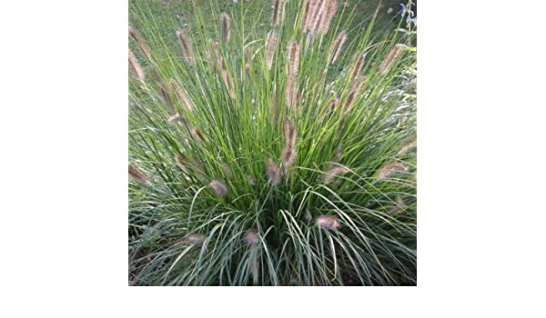 Lampenputzergras 0,5 Liter Topf Pennisetum alopecuroides /'Hameln/'