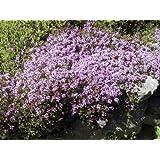 Thyme - Purple Creeping - 700 seeds