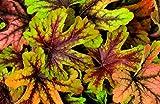 Heuchera - Purpurglöckchen, Alabama Sunrise - in Gärtnerqualität von Blumen Eber