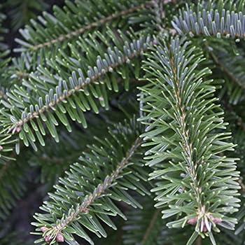 Weihnachtsbaum Nordmanntanne, Ca. 165 - 180 Cm Hoch, Geschlagen 1