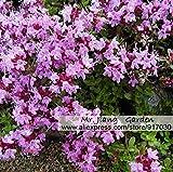 Timo serpillo Seed * Thymus serpyllum * * Wild Thyme madre di semi di timo * Flower *