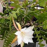 Epiphyllum anguliger - Talea 10 cm