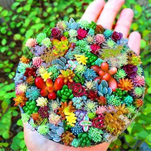 Ultrey Samenshop - 100 Stück echte Mini saftig Sukkulenten Samen Mix Succulent Mischung winterhart mehrjährig Pflanzensamen für Garten Balkon/Terrasse