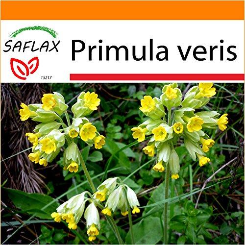 SAFLAX - Garden in the Bag - Heilpflanzen - Schlüsselblume - 100 Samen - Primula veris - Garden In A Bag