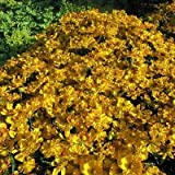 lichtnelke - Sonnenbraut (Helenium' SEPTEMBERGOLD ')