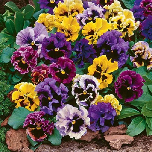 pansy-masterpiece-rococo-mix-500-finest-seeds