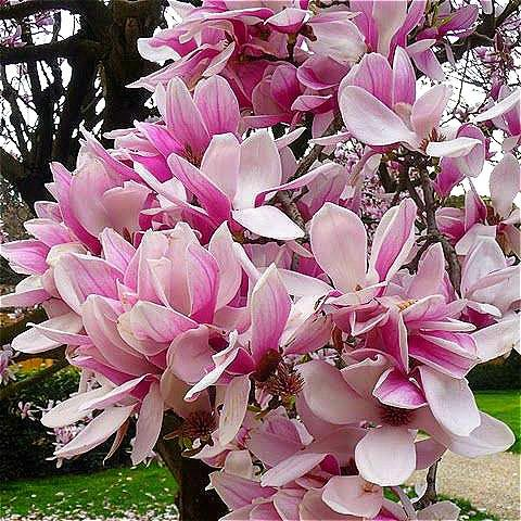 Magnolia Tree (PlenTree Rare Genie Rosa Yulan Magnolia Tree Bonsai, Profi-Pack 10 s/Packung Jane Magnolia-Baum-Licht Duftende Garten: Gelb)